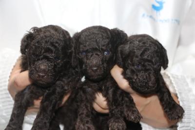 トイプードルブラウンの子犬オス2頭メス1頭、生後3週間画像