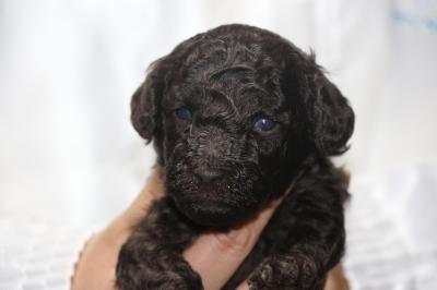 トイプードルブラウンの子犬メス、生後3週間画像