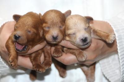 トイプードルの子犬レッドオス2頭アプリコットメス1頭、生後1週間画像