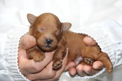 トイプードルの子犬レッドオス、生後1週間画像