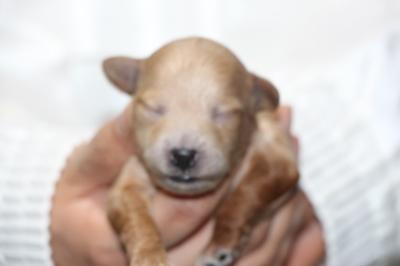 トイプードルの子犬アプリコットメス、生後1週間画像