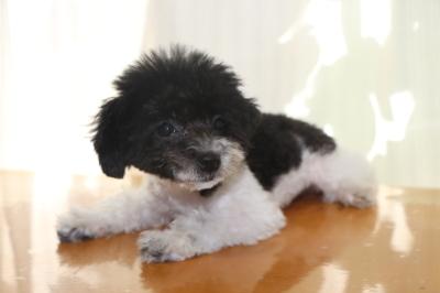 トイプードル白黒パーティーカラーの子犬メス、生後3ヵ月画像