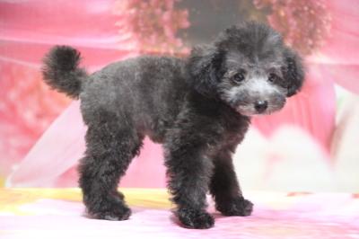 ティーカッププードルシルバーの子犬メス、生後2ヵ月半画像