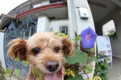 ペットホテル、千葉県鎌ヶ谷市ミックス犬の雪乃&穂乃芽ちゃん画像
