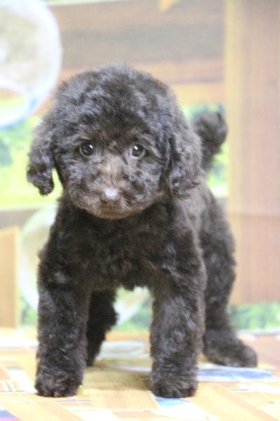 トイプードルブラウンの子犬メス、広島県広島市ココアちゃん画像