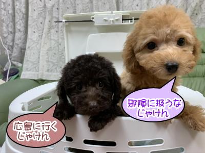トイプードルブラウンの子犬メス。アプリコットの子犬メス。広島県広島市ココア&桃モモちゃん画像