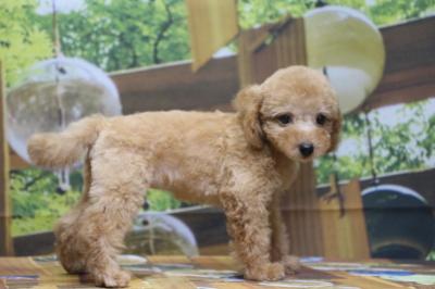 トイプードルアプリコットの子犬メス、広島県広島市モモちゃん画像