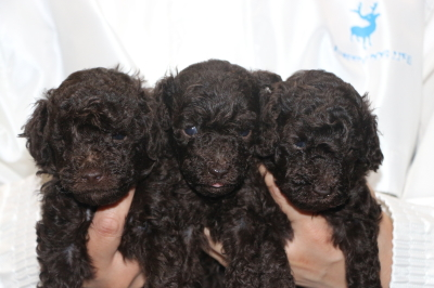 トイプードルブラウンの子犬オス2頭メス1頭、生後4週間画像