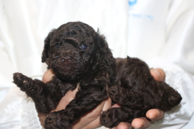 トイプードルブラウンの子犬メス、生後4週間画像