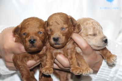 トイプードルの子犬レッドオス2頭アプリコットメス1頭、生後2週間画像
