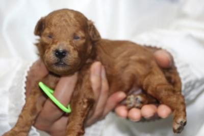 トイプードルの子犬レッドオス、生後2週間画像