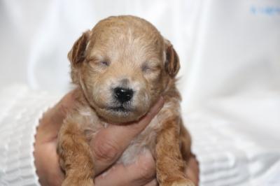 トイプードルアプリコット子犬メス、生後2週間画像
