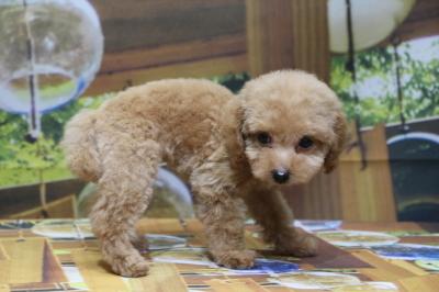 ティーカッププードルアプリコットの子犬メス、神奈川県鎌倉市ココちゃん画像