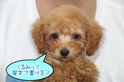 タイニープードルレッドの子犬オス、千葉県印西市クルミ君画像