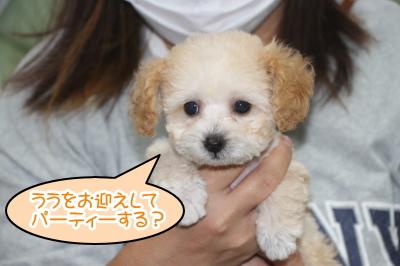 トイプードルアプリコット&ホワイトのパーティーカラーメス、神奈川県横浜市ララちゃん画像