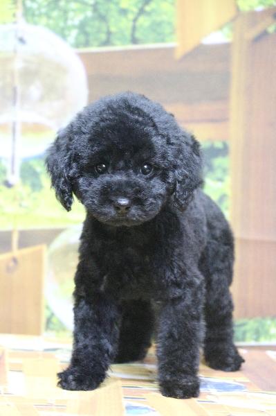 トイプードルブラック(黒色)の子犬メス、東京都中央区サラちゃん画像