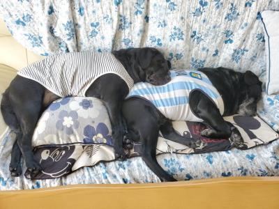 ラブラドールブラック(黒色)の多頭飼い、福島県会津若松市ライラ&二胡ちゃん画像