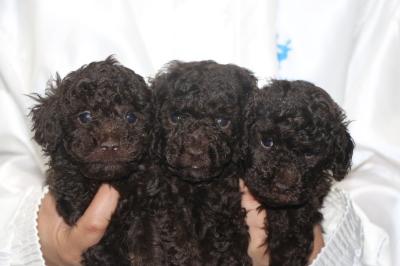 トイプードルブラウンの子犬オス2頭メス1頭、生後5週間画像