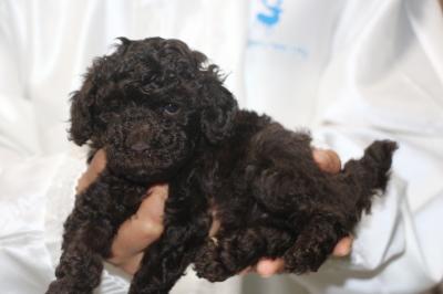 トイプードルブラウンの子犬メス、生後5週間画像