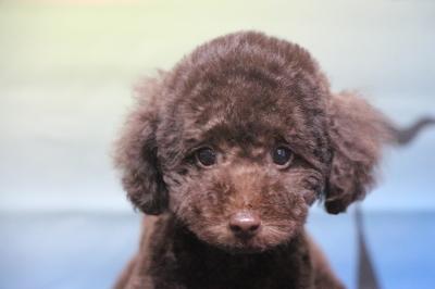 トイプードルブラウンの子犬オス、千葉県鎌ヶ谷市ニコ君画像