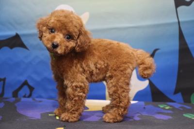 タイニープードルレッドの子犬オス、千葉県船橋市とら君画像