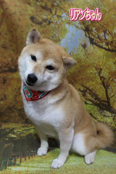 千葉県鎌ケ谷市の柴犬シャンプー画像