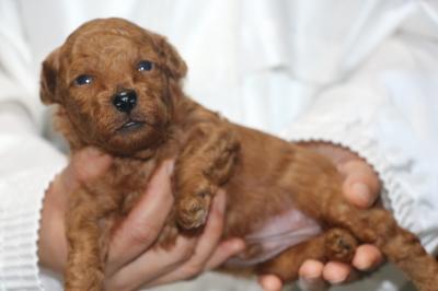 トイプードルの子犬レッドオス、生後3週間画像