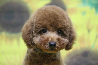 トイプードルレッドの子犬オス、千葉県船橋市りく君画像