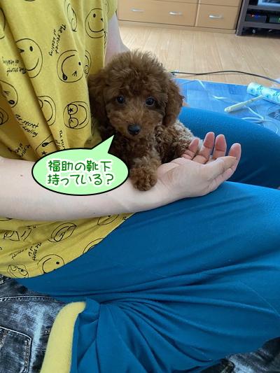 トイプードルレッドの子犬オス、大阪府大阪市福助君画像