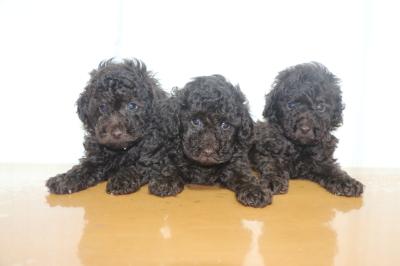 トイプードルブラウンの子犬オス2頭メス1頭、生後6週間画像