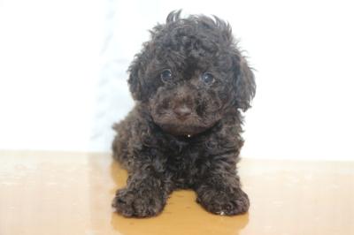 トイプードルブラウンの子犬オス、生後6週間画像
