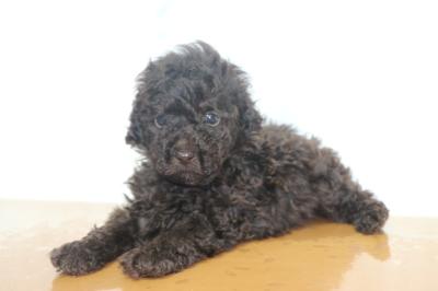 タイニープードルブラウンの子犬オス、生後6週間画像