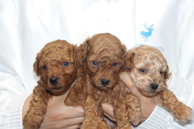 トイプードルの子犬レッドオス2頭アプリコットメス1頭、生後4週間画像