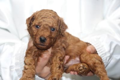 トイプードルの子犬レッドオス、生後4週間画像