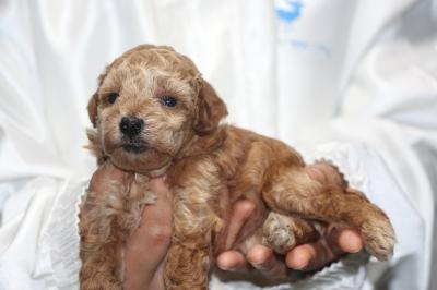 トイプードルの子犬アプリコットメス、生後4週間画像