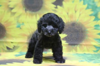 タイニープードルシルバーの子犬メス、神奈川県川崎市ルルちゃん画像