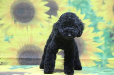 トイプードルブラック(黒色)の子犬メス、茨城県つくば市おとちゃん画像