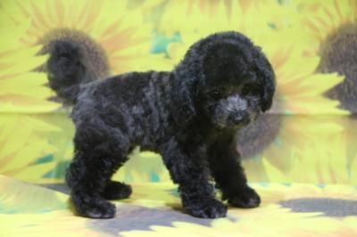 トイプードルシルバーの子犬オス、山梨県昭和町アッシュ君画像