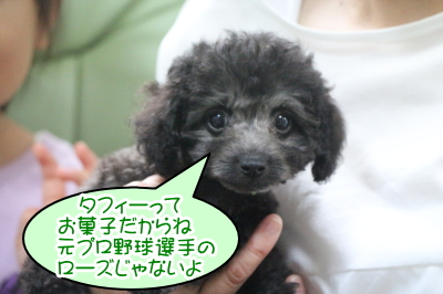 タイニープードルシルバーの子犬オス、千葉県鎌ヶ谷市タフィー君画像