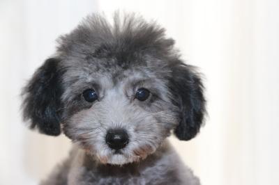 ティーカッププードルシルバーの子犬メス、生後3ヵ月画像