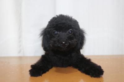 ティーカッププードルブラック(黒色)の子犬メス、生後3ヵ月画像