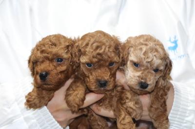 トイプードルの子犬レッドオス2頭アプリコットメス1頭、生後5週間画像