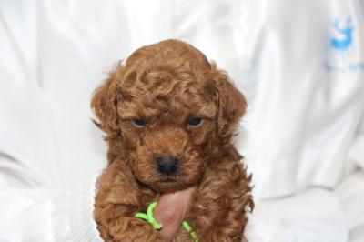 トイプードルの子犬レッドオス、生後5週間画像