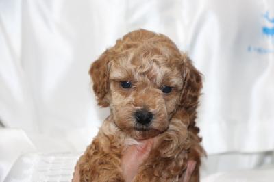 トイプードルの子犬アプリコットメス、生後5週間画像