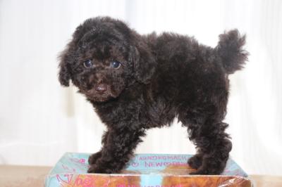 トイプードルブラウンの子犬オス、生後7週間画像