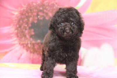 タイニープードルブラウンの子犬オス、生後7週間画像