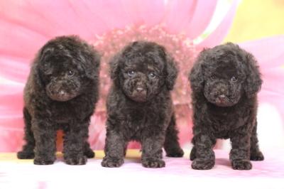 トイプードルブラウンの子犬オス2頭メス1頭、生後7週間画像