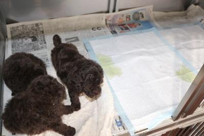 トイプードル子犬、トイレのしつけが出来ている画像