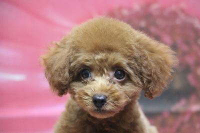 トイプードルレッドの子犬メス、千葉県鎌ヶ谷市ルチルちゃん画像