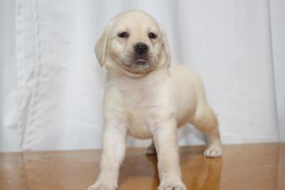 ラブラドールレトリバーイエロー(クリーム色)の子犬メス、生後7週間画像